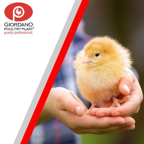 Le bien-être des animaux dans les élevages avicoles